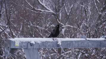 Free download A Crow In Winter Stock Video video and edit with RedcoolMedia movie maker MovieStudio video editor online and AudioStudio audio editor onlin