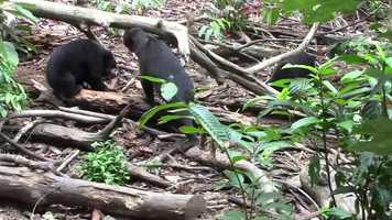 Free download Facial Mimicry in Sun Bears video and edit with RedcoolMedia movie maker MovieStudio video editor online and AudioStudio audio editor onlin