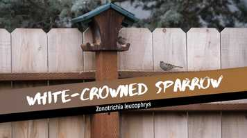 Free download White-crowned Sparrow video and edit with RedcoolMedia movie maker MovieStudio video editor online and AudioStudio audio editor onlin